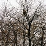 Vespa Velutina: Nid découvert
