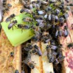 Conduite des ruches
